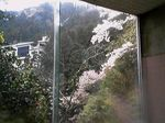 大阪府泉佐野市・天然温泉 犬鳴山温泉 山乃湯 浴室から見た桜1