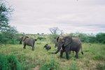 タンザニア・タランギーレ・ゾウ