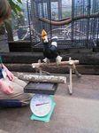 神戸市中央区・ポートアイランド 神戸花鳥園 オオサイチョウの体重測定