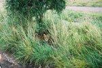 タンザニア・セレンゲティ・昼寝するメスライオン