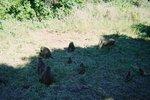 タンザニア・マニヤラ・ヒヒの群れ